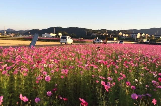 田原のコスモス畑に行ってきました。